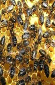 Apis mellifera adami κρητική μέλισσα