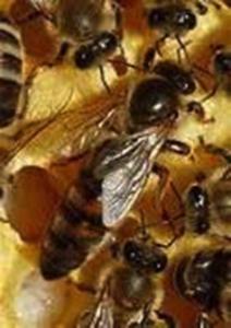 Apis mellifera cecropia