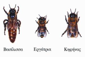 φυλές-μελισσών